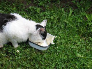 Первый раз видела кота, с треском поедавшего манную кашу