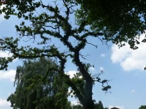 Ein seltener Baum