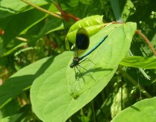 Eine schönen Libelle ruht sich aus..