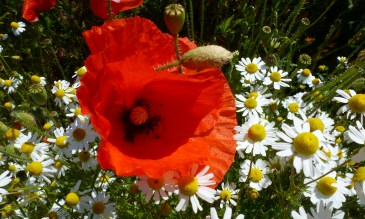 So eine schöne Mohnblume mit Margeriten.