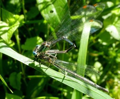 Zwei Libellen bei der Liebe..