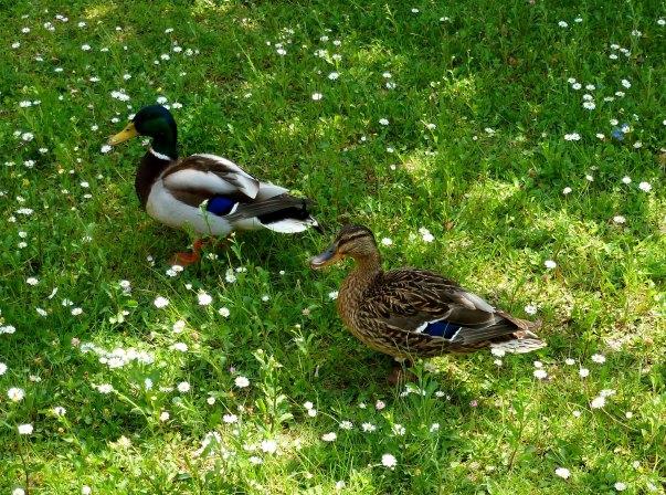 Ein Entenpaar