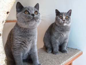 Piękne kotki hodowlane jeszcze wolne