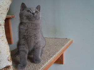 Aktualne zdjęcia kociaków brytyjskich 16.08.2018