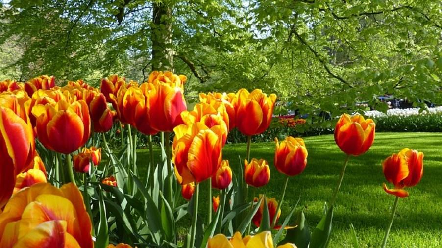 פרחים בהולנד