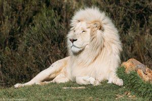 אריה בדרום אפריקה