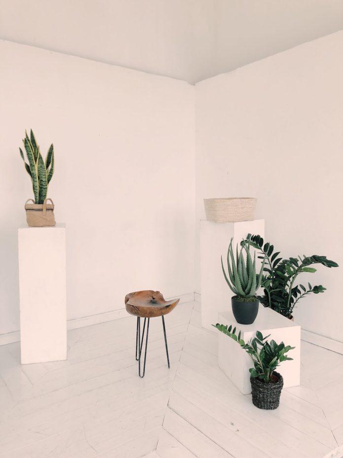 Indoor Aloe plant care