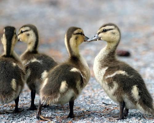 Красивые фото Маленькие утки, скачать бесплатно красивые ...