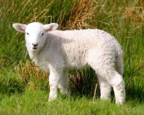 Красивые фото Белая овечка, скачать бесплатно красивые ...