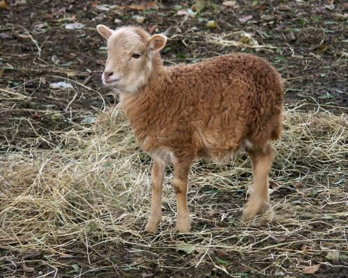 Красивые фото Кучерявая овечка, скачать бесплатно красивые ...