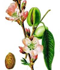 Самые распространенные сорта и виды миндаля
