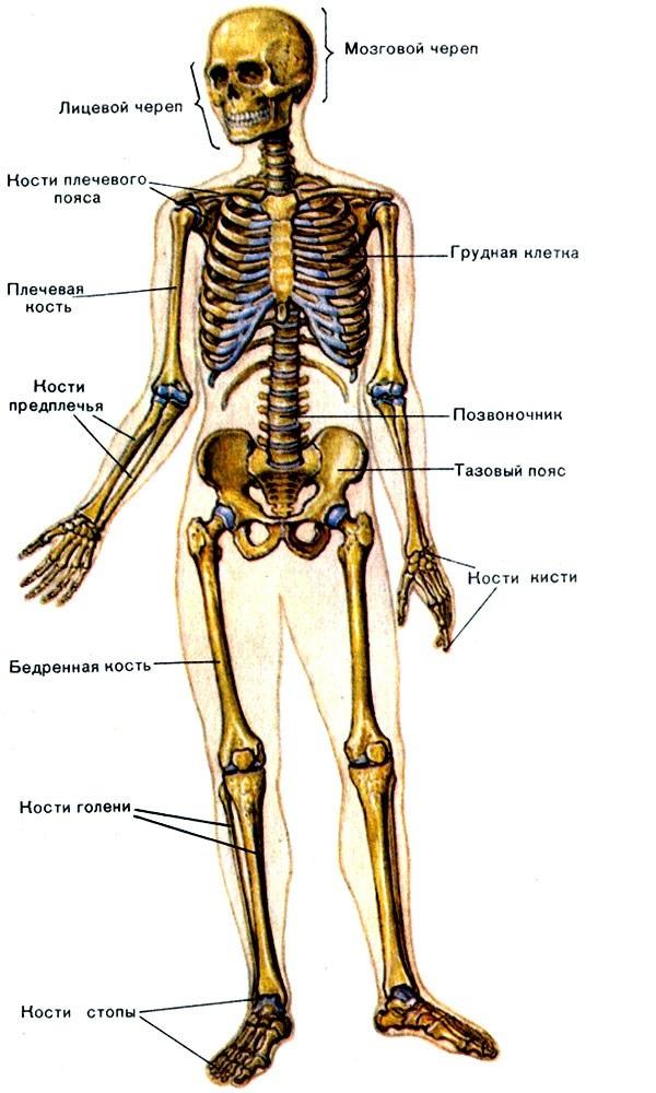 Анатомия скелета в картинке