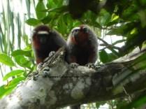 Dusky titi monkeys (mono zocay; Callicebus ornatus)