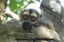 Aotus brumbacki (Colombian Llanos) Nest