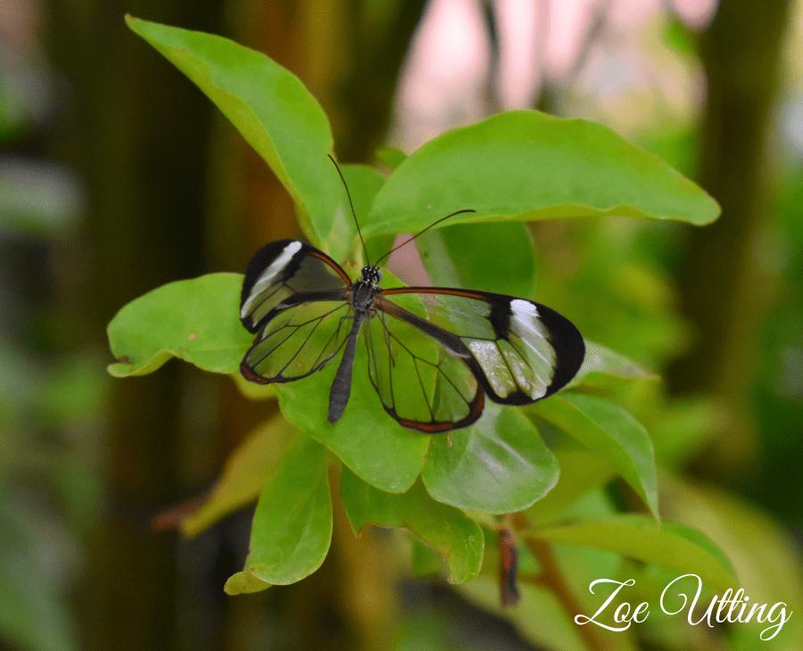Transparent Butterfly Copyright Zoe Utting