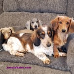 Zoeys Doxies Dachshund Puppies For Sale