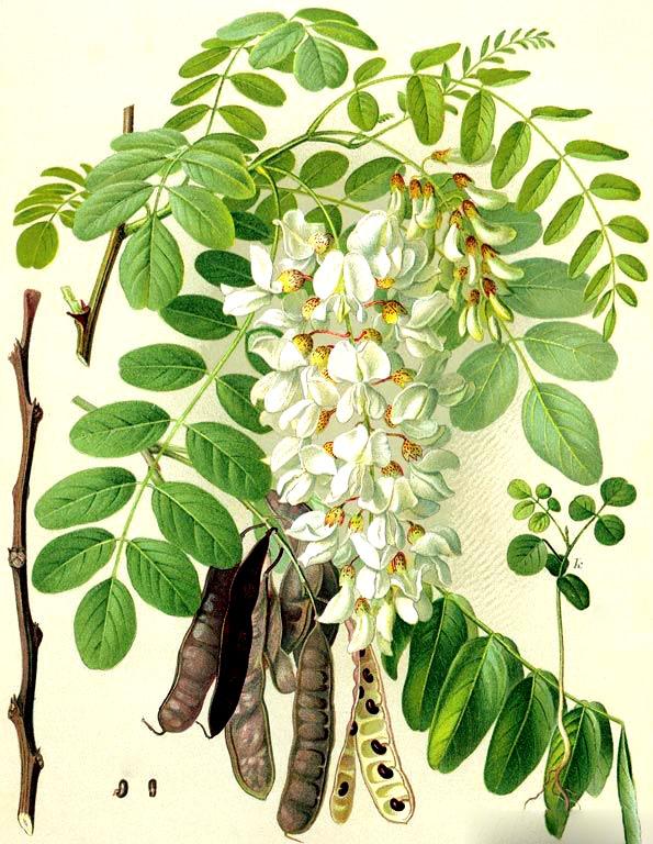 Как выглядят цветы и листья белой акации