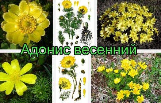 Адонис весенний или горицвет