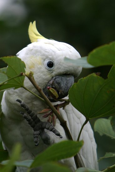 yellow crested cockatoos