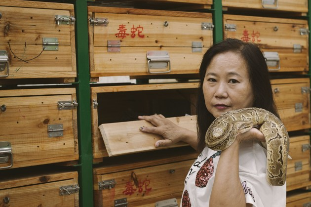 Chow Ka-ling and a radiated ratsnake