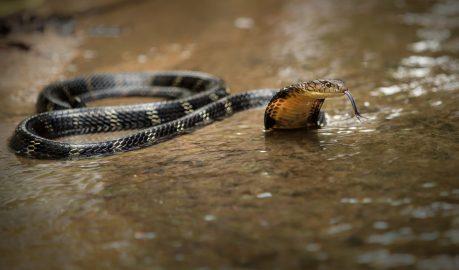 king cobra wildlife hong kong