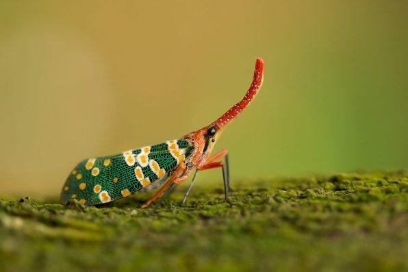 lantern bug wildlife hong kong