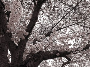 Cherry Blossoms at the end of March