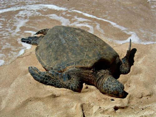 Oahu, Hawaii 2007 sea turtle sunning on the sand beach