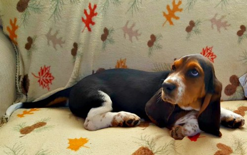 Basset puppy on the loveseat. This is where we spent most of our time during the road trip.