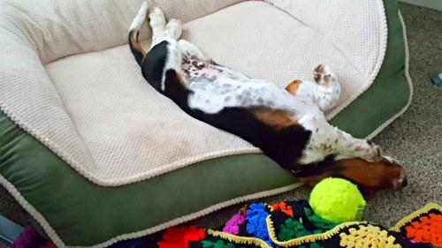 Bugatti the basset hound puppy sleeping upside down in his pet bed