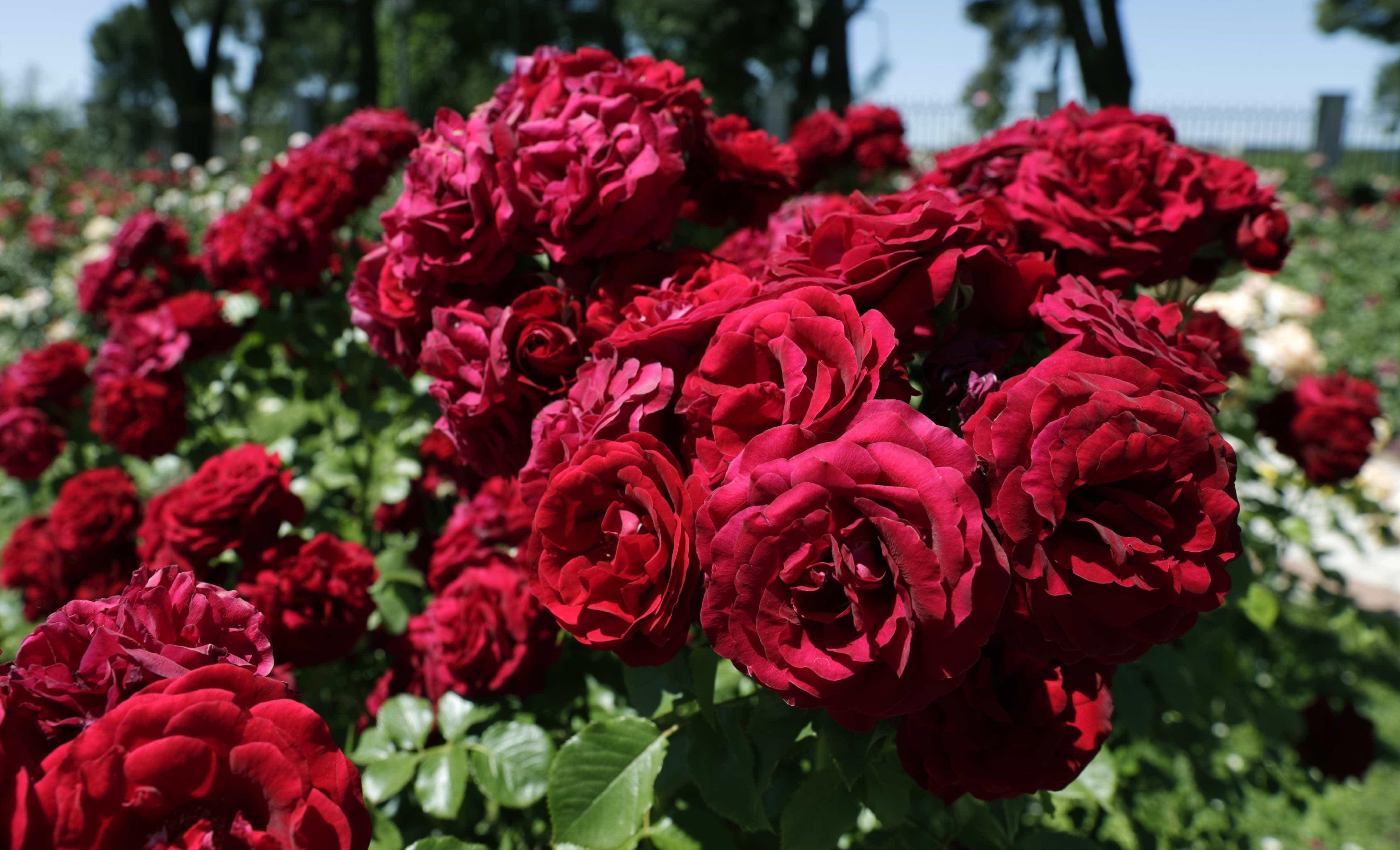 Zona retiro ste es el rosal m s bonito de todo madrid for Viveros el rosal