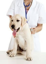 Собака на приёме у ветеринарного врача