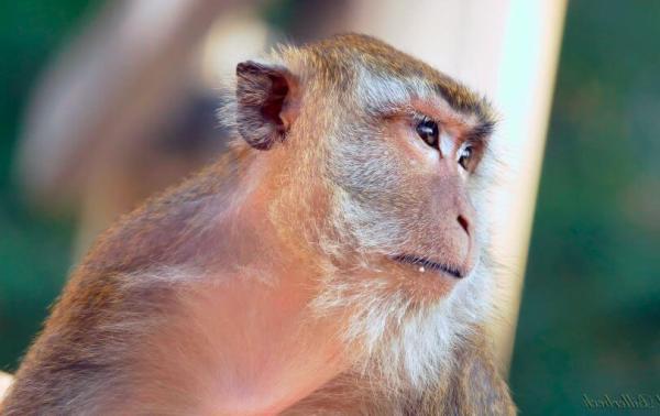 Яванский макак | Мир животных и растений
