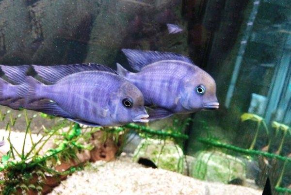 Аквариумная рыбка голубой дельфин Мир животных и растений