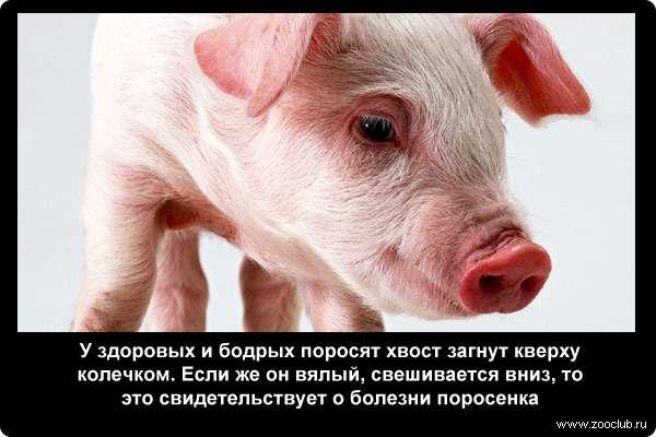 Неизвестные факты о свиньях фото любопытные факты свиней