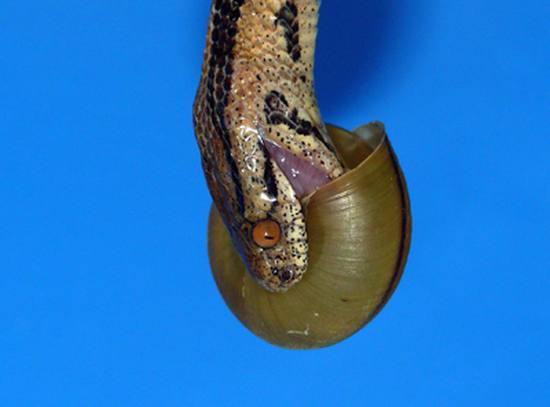 Ученые увидели, как улитки научились обманывать змей (фото ...