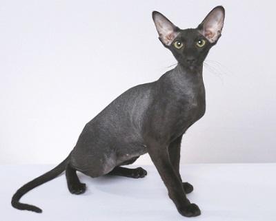Канадский сфинкс: описание породы и характера, фото кошки ...