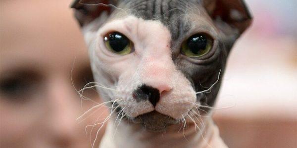 Украинский левкой: фото породы кошек без шерсти, описание ...