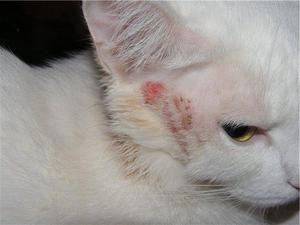 Кожные болезни кошек: описание заболеваний с фото и ...
