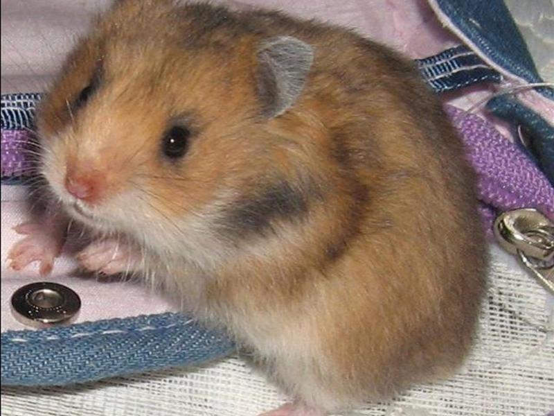 poate hamster să piardă în greutate)