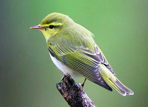 Пеночка: описание птицы, фото, питание и размножение ...