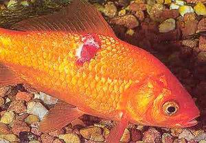 Болезни аквариумных рыбок: внешние признаки, симптомы и ...