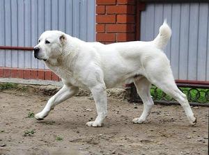 Туркменский алабай: описание внешности и характера породы ...