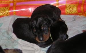 Уход за новорожденными щенками. Когда щенки открывают глаза? Развитие щенков Во сколько недель щенки начинают
