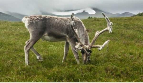 Северным оленям на Таймыре грозит исчезновение