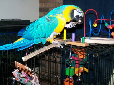 Jo, a Blue and Gold Macaw I birdy-sat for a couple months, chews on a stick.
