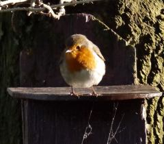 robin-on-box