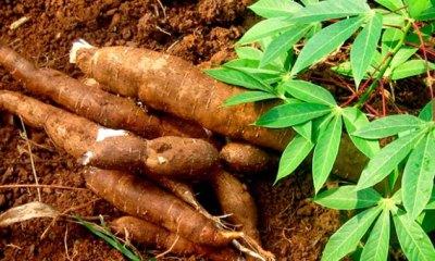RDC: les banques invitées à financer la chaîne de valeur du manioc 3