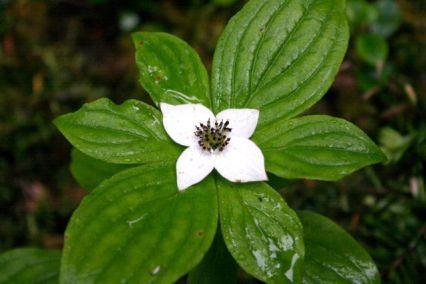 Bunchberry (dwarf dogwood)