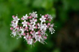 Sitka valerian (Valeriana sitchensis)